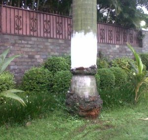 pohon palem PI